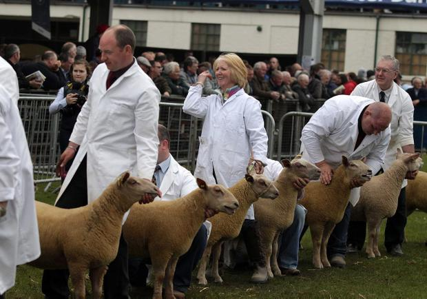 Northern Ireland- 16th May 2012 Mandatory Credit - Photo-Jonathan Porter/Presseye. Country meets town at the annual 2012 Balmoral Show at the Kings Hall in south Belfast. Sheep judging during the show.