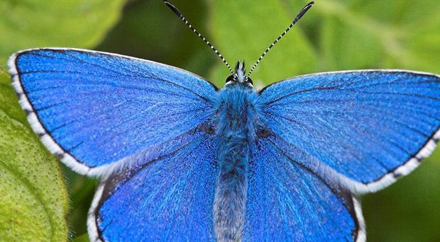 The Adonis Blue emerged in the final week of April in 2011 but were not seen until the second week of May this year (Butterfly Conservation/PA)