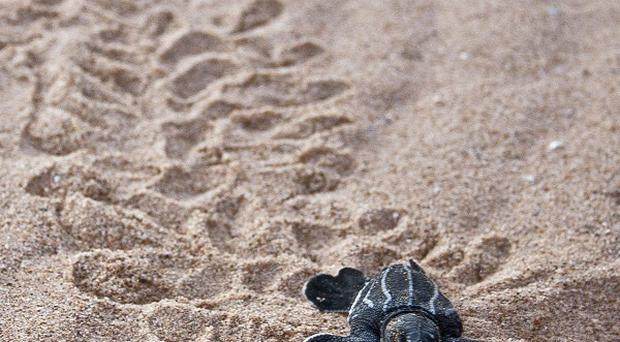 A leatherback sea turtle hatchling crawling across the beach toward the ocean