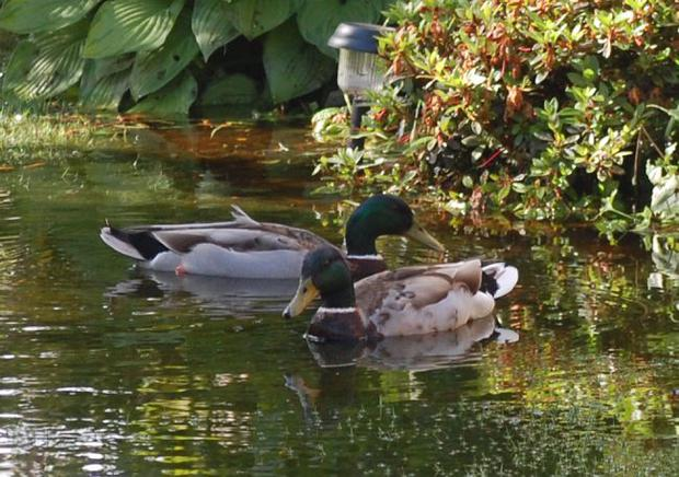 Belfast garden ..... 2 ducks enjoy the recent flooding in my garden which is usually green grass! Picture by Colleen Robb. July 2012