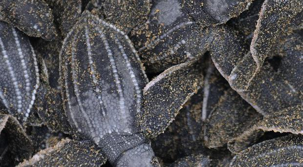 Leatherback sea turtles, which can live to 100 years, will return to lay their eggs on the beach of their birth