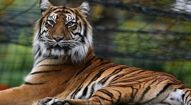 A man has been found dead in a tiger den at Copenhagen Zoo.