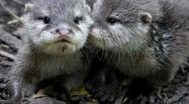 Otter pups Rebecca and Daley look around their enclosure at Chester Zoo