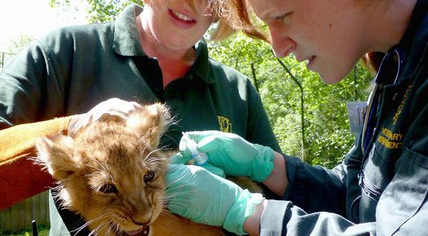 Big cat keeper Helen Neighbour (left) and vet Catherine Bergzoll vaccinating one of their lion cubs (Paignton Zoo)