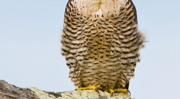 Protected peregrine falcons may have been shot dead in Northern Ireland (Dreamstime/NIRSG/PA)
