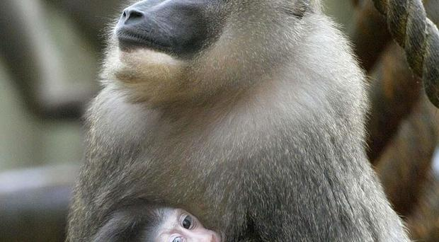 Conservationist Rita Miljo reintroduced packs of baboons into the wilds of South Africa