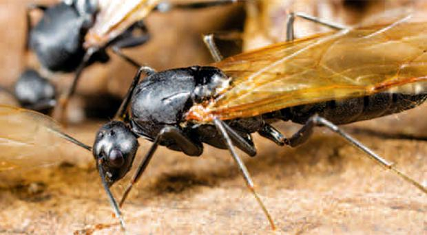 The mating season is bringing swarms of flying ants to Northern Ireland
