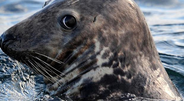 Scientists believe seal flu could pose a new threat to human health