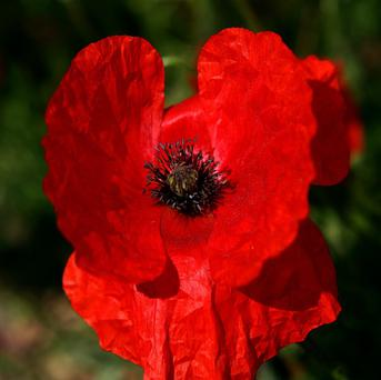 Poppies are in decline in some areas of Wales