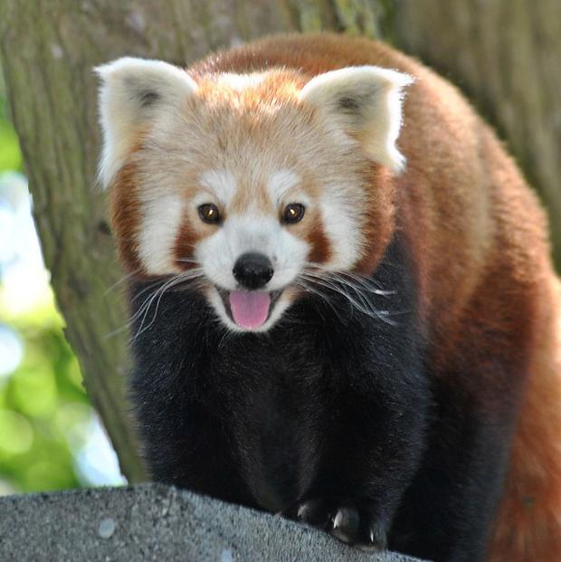 It is hoped red panda Tiang Ming will find love (Port Lympne Wild Animal Park/PA)