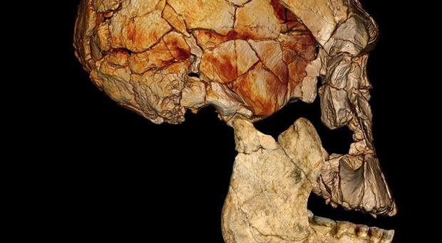 The skull of the long-faced human whose fossils were found near Lake Turkana in Kenya (Fred Spoor/PA)