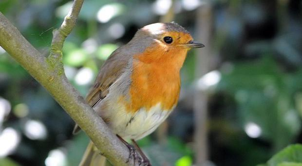 Robins are among the birds whose numbers have seemingly been hit by the cold, wet start to the summer, says the RSPB