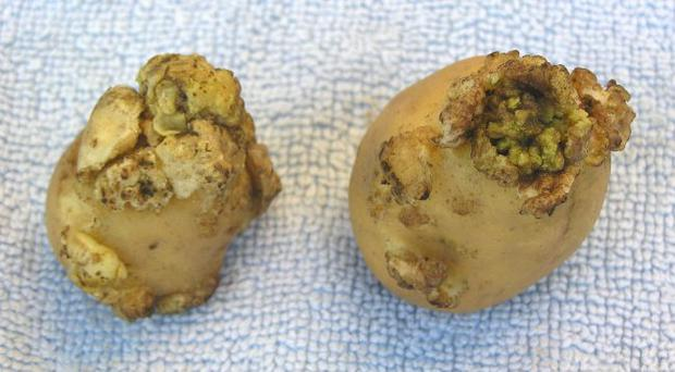 Unhealthy: potato wart fungus can lie dormant for decades