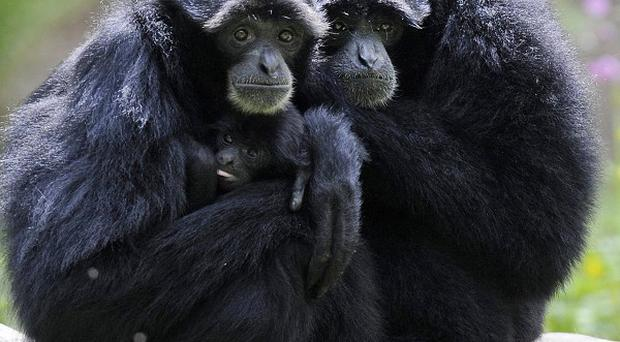 Gibbons use the same vocal techniques as human sopranos, a new study has found