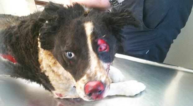 Shocking: The dog's injuries are obvious in this picture taken at veterinary surgery