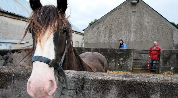 A horse for sale at the Ould Lamas Fair in Ballycastle