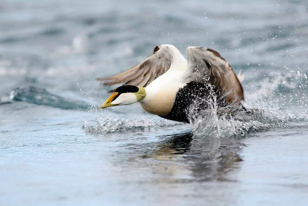 Eider duck numbers have soared at Strangford Lough