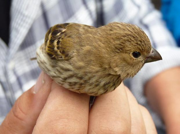 Common Rosefinch, Copeland Bird Observatory