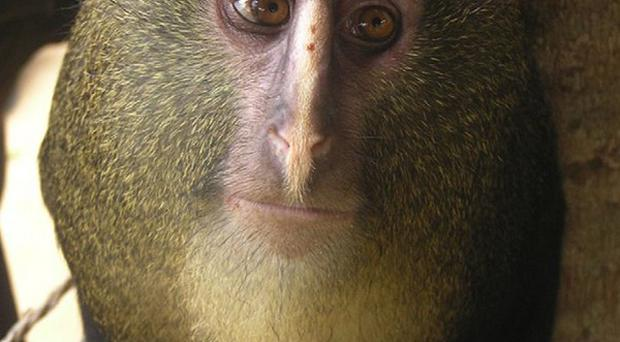 Lesula, a new species of monkey identified in the Democratic Republic of Congo