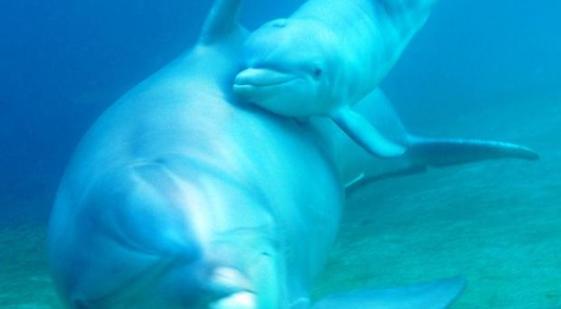 Dolphin Keo and her newborn calf (AP/Dolphin Quest Hawaii)