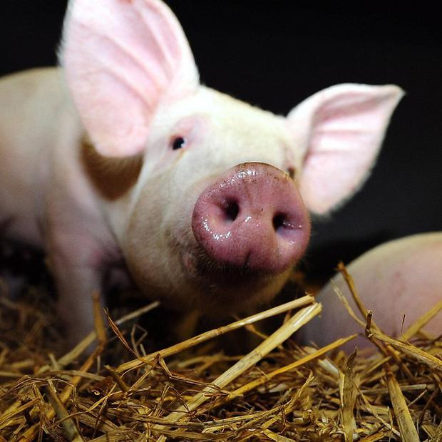 A farmer in the US has been eaten by his own pigs