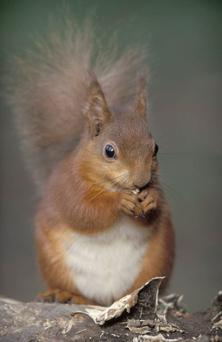 Deadly virus: 90% of red squirrels in Tollymore Forest Park died last year
