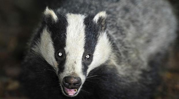 A second licence has been issued authorising a cull of badgers