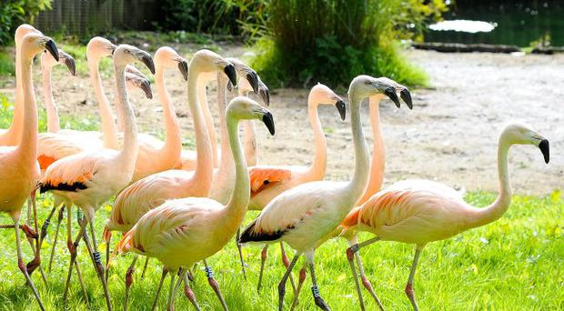 Chilean flamingos at Belfast Zoo make themselves at home.