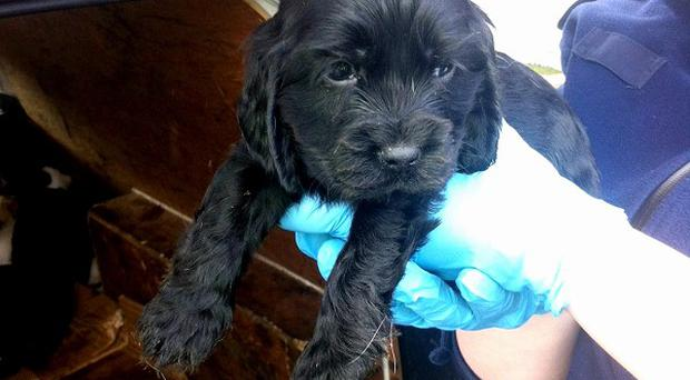One of fifty puppies found in two cars on Old Malahide Road in the Coolock area of Dublin