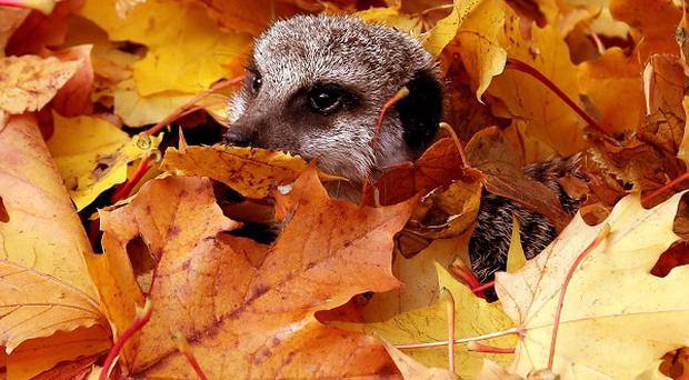 A meerkat playing in leaves at Blair Drummond Safari Park near Stirling