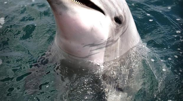 Scientists say dolphins can stay alert and active for 15 days or more by sleeping with one half of their brain at a time