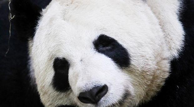 Climate change is set to wipe out much of the bamboo on which giant pandas rely for food