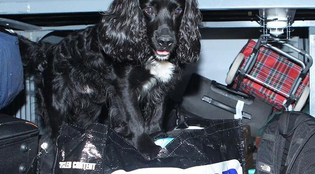 Diesel the search dog, who can sniff out cash, at Victoria Coach Station in central London as part of Operation Stimtone 2