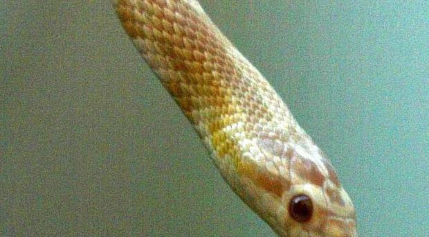 A 4ft corn snake has been found in north Belfast