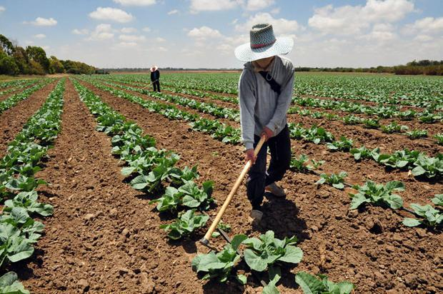 A man works in a cabbage field in Sderot, Israel
