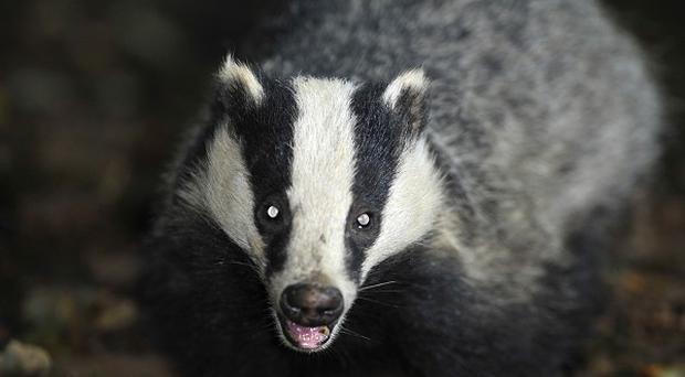 Scientists have found the first clear evidence that TB can spread between cattle and badgers