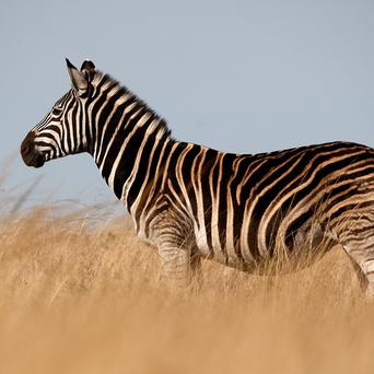 A zebra has been spotted running through New York, according to reports