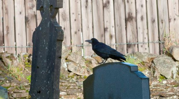 Crows' feat: one of the birds on a gravestone in Claudy