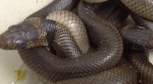 The deadly eastern brown snakes after hatching out in a three-year-old boy's bedroom in northern Queensland, Australia. (AP/Trish Prendergast)