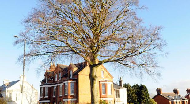 The mighty beech tree is safe from the axe for now