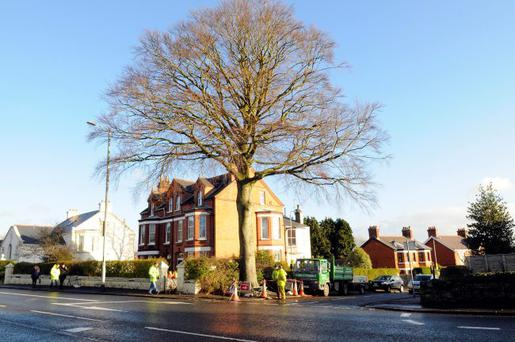 A poem as lovely as a tree: the beautiful beech in north Belfast