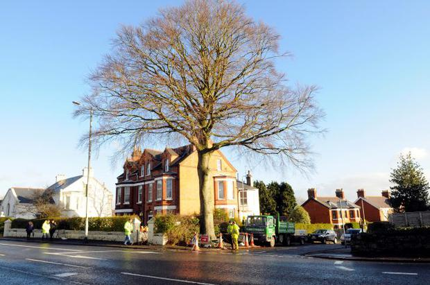 Beech tree in north Belfast
