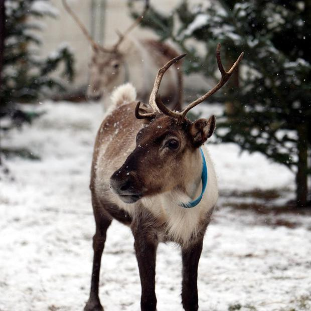 A dramatic increase in the number of people who enjoy the taste of Dasher, Dancer and Rudolph is putting pressure on reindeer stocks in Finland, where suppliers are turning down requests for the exotic meat for fear of depleting the forests