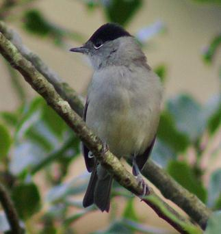 Some garden visitors to watch out for: Blackcaps
