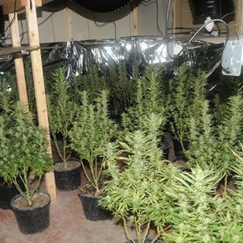 Cannabis and cannabis plants worth almost one million euro have been seized