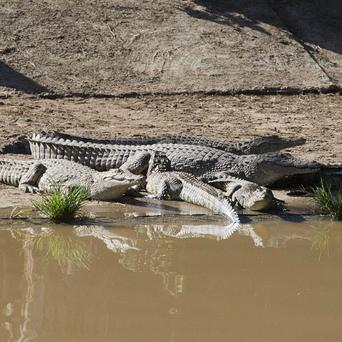 Recaptured crocodiles lying in the sun back at the farm (AP)