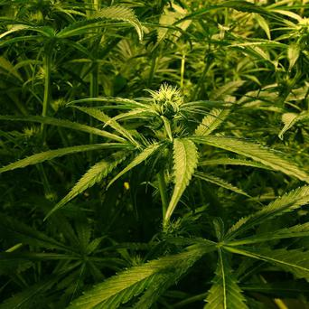 Cannabis worth 180,000 euro was seized at Dublin Airport