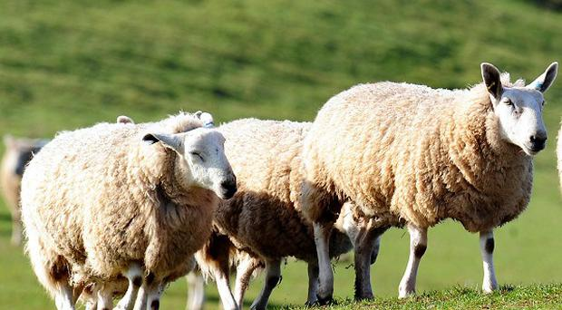 Police are investigating a case of 'sheep rustling' in Dumfries and Galloway