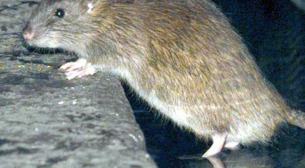 Cork man rushed to hospital after rat bit him on the backside [File photo]