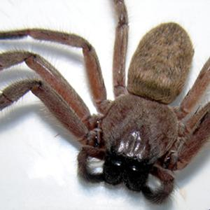 Huntsman spider